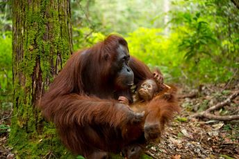 Borneo Orangutan mother and baby.jpg