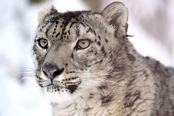 India Ladakh Snow leopard.jpg
